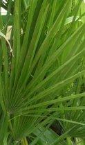 Saw palmetto fan palm