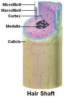 Hair shaft diagram