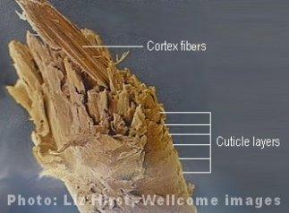 Hair cortex and cuticle