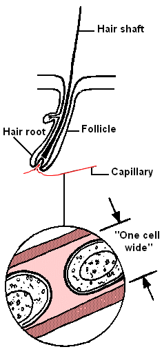 Hair follicle and single blood capillary