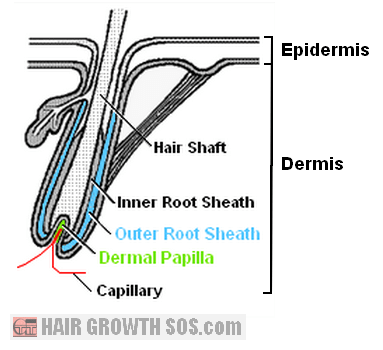 Diagram of follicle showing dermal papilla and outer root sheath