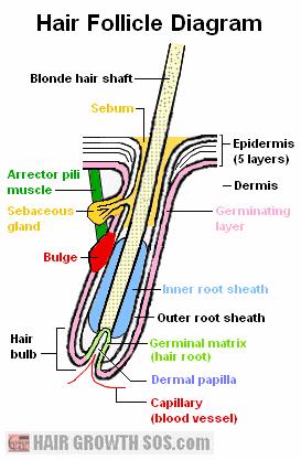 Hair follicle diagram