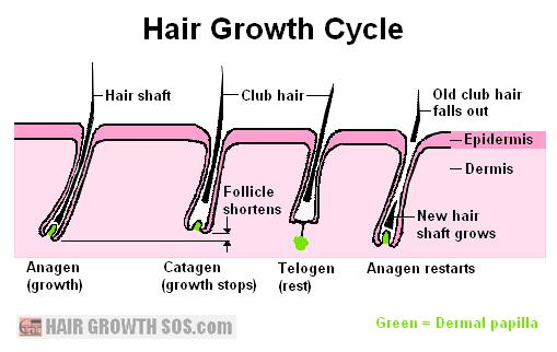 Hair growth cycle diagram