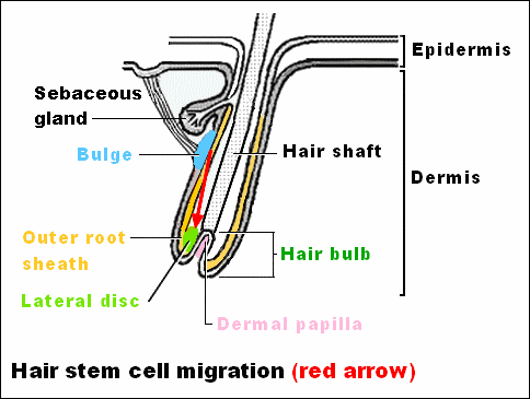 Hair stem cell migration in a hair follicle