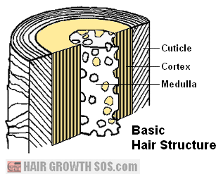 Basic hair structure diagram