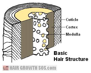 Basic hair structure diagram