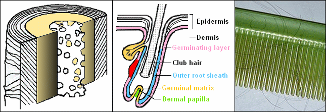 Cross section of blonde hair shaft, hair growth cycle and comb with hair