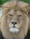 Male lion with full mane of hair
