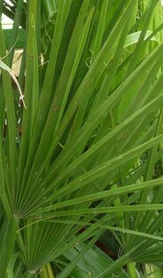 Saw palmetto fan palm leaf