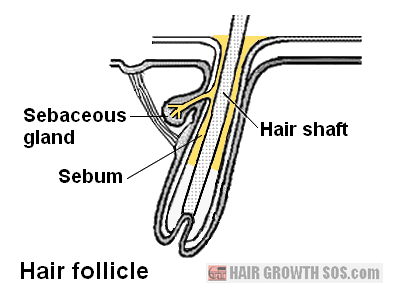 Diagram of hair follicle showing sebaceous gland and flow of sebum