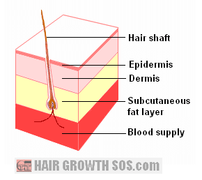 Subcutaneous fat layer of the skin