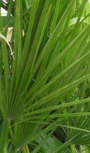 Saw palmetto fan palm leaf