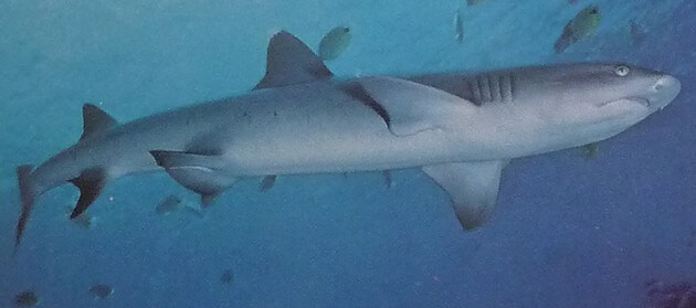 Shark swimming in deep blue ocean